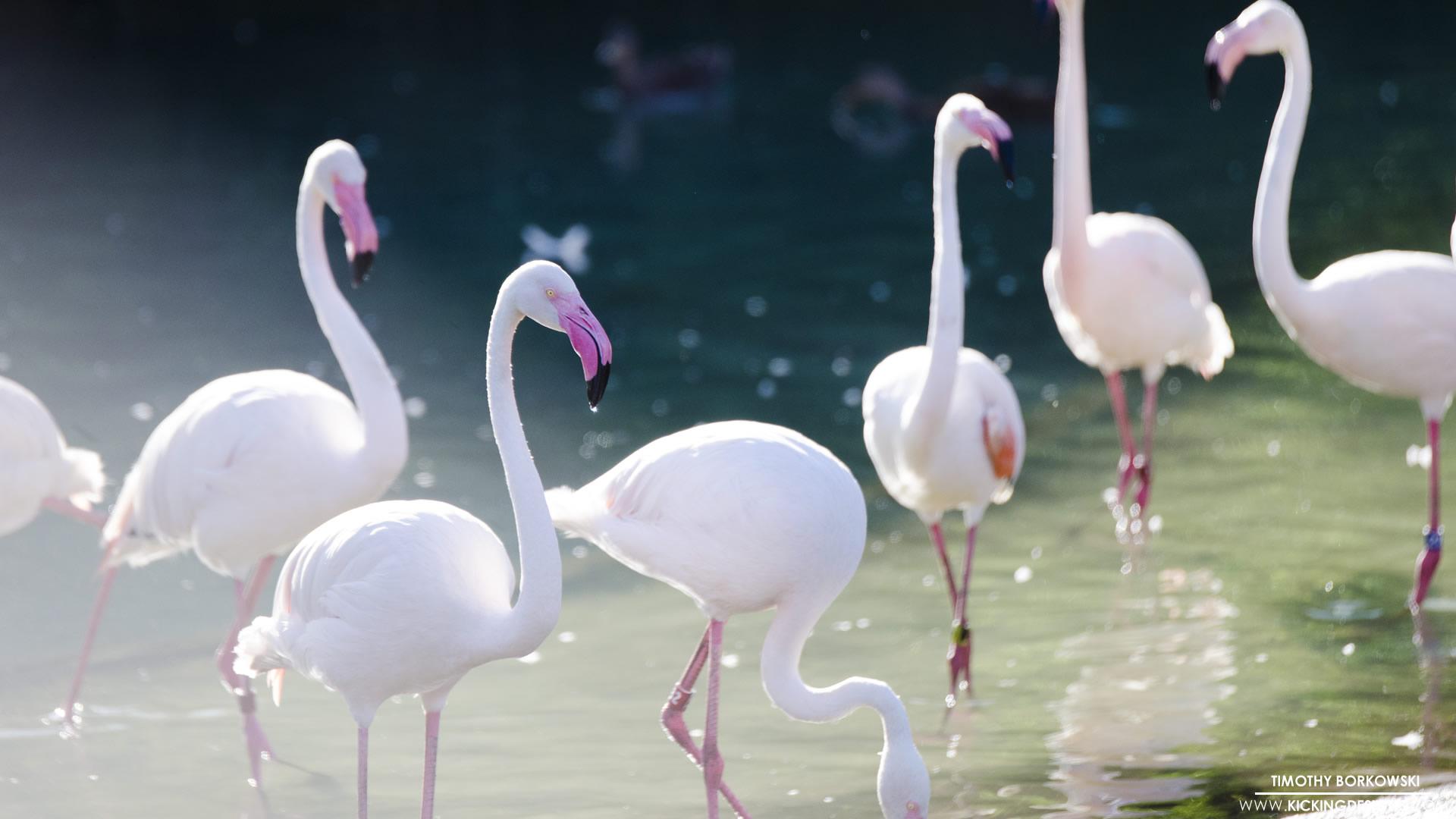 Pink Flamingos 10 20 2017 Wallpaper Background Kicking Designs