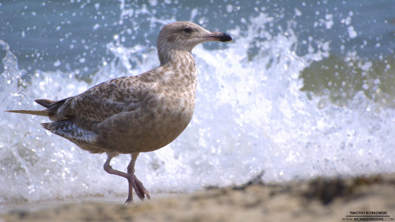seagull-7-29-2012_hd-720p