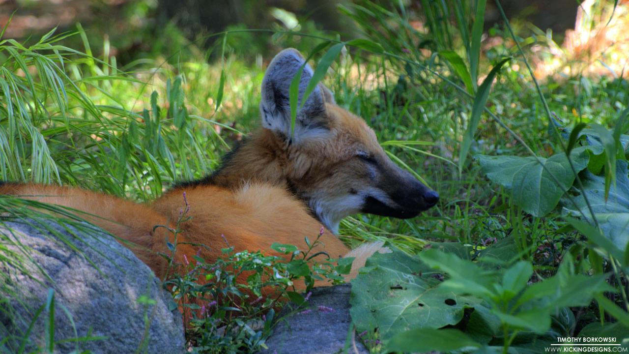 maned-wolf-10-03-2012_hd-720p