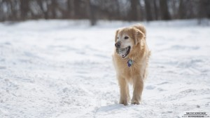 golden-retriever-2-21-2013_hd-720p