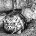 happy-pigs-8-3-2013_hd-720p