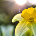 daffodil-8-21-2013_hd-720p