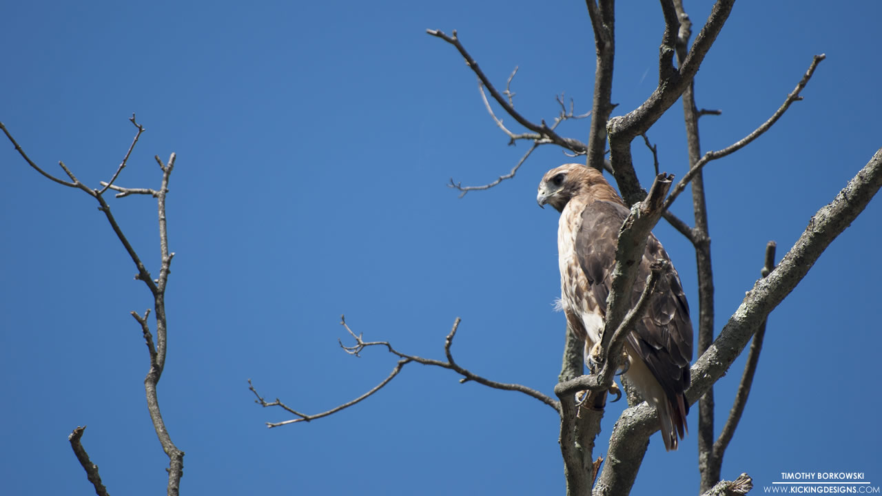 red-tailed-hawk-12-30-2013