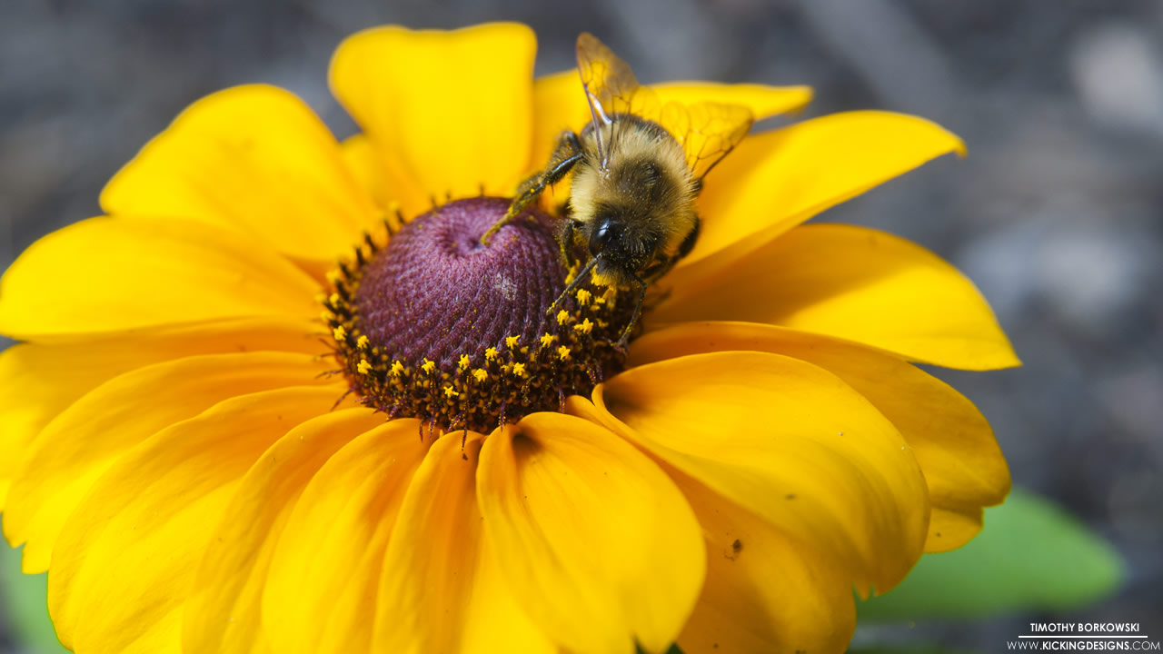 yellow-daisy-and-bumble-bee-12-27-2013
