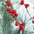 winter-berries-1-17-2014