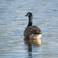goose-on-water-3-16-2014