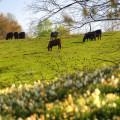 cattle-pasture-5-2-2014