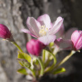 crab-apple-blossom-6-15-2014