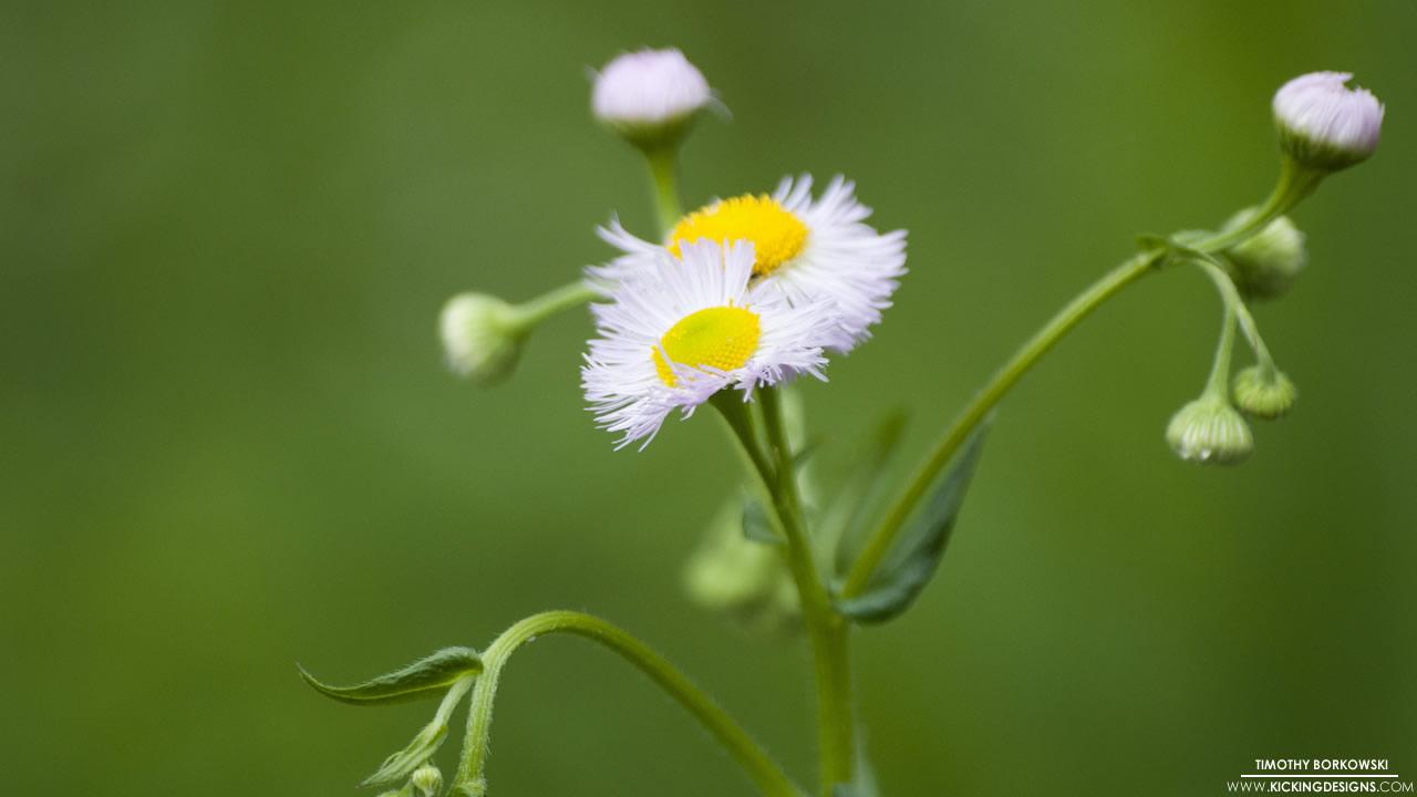 wild-daisy-6-11-2014