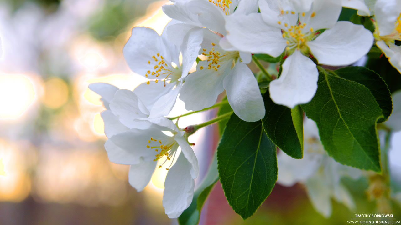 crab-apple-blossoms-7-19-2014