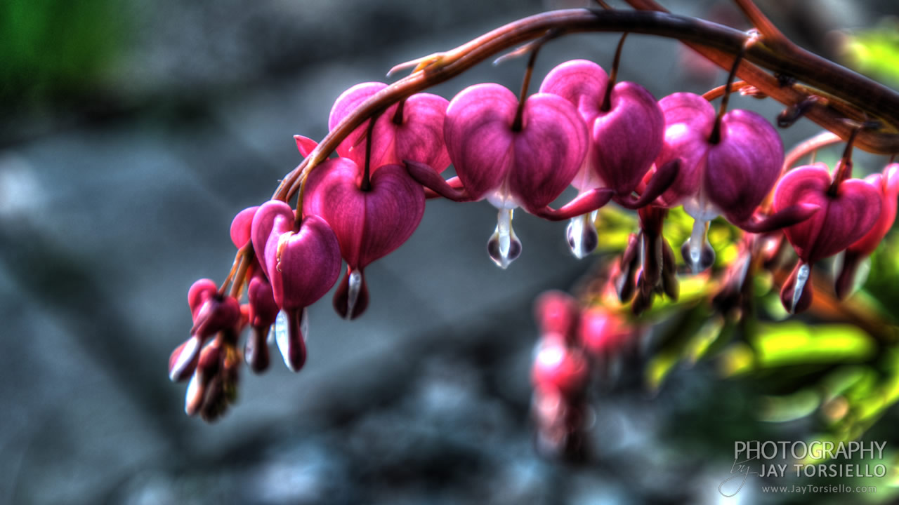 bleeding-heart-9-18-2014