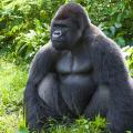 gorilla-9-28-2014