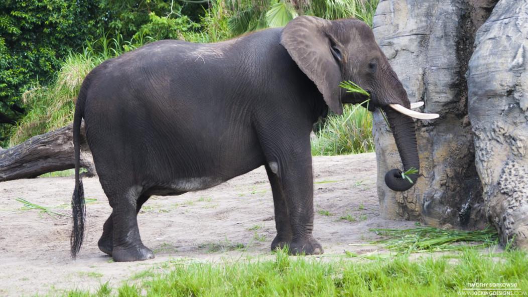 animal-kingdom-elephant-1-28-2015