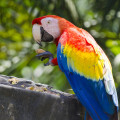 scarlet-macaw-parrot-4-28-2015