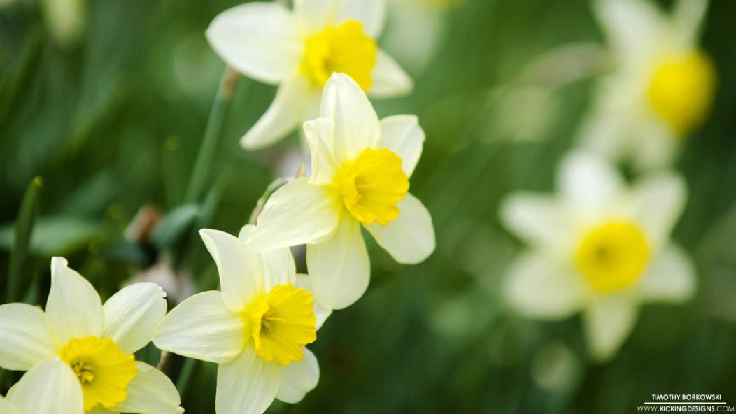 yellow-white-daffodils-5-3-2015