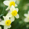 yellow-white-daffodils-5-3-2015