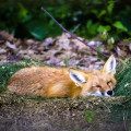 sleeping-fox-6-17-2015