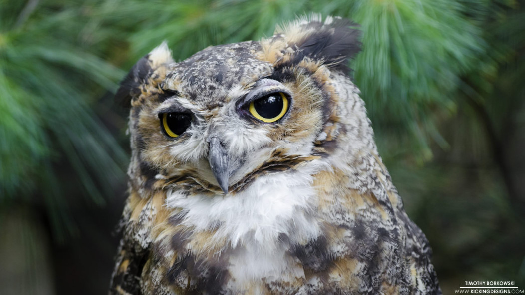 hd great horned owl - photo #27
