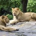 lions-7-26-2015