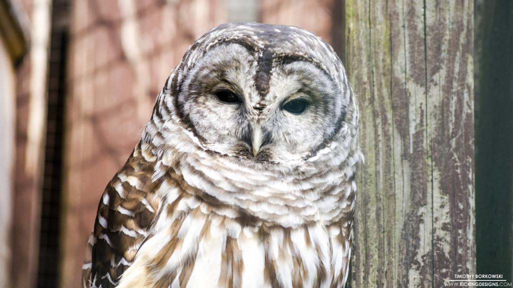Barred Owl 11-02-2015