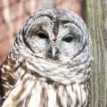 barred-owl-10-02-2015