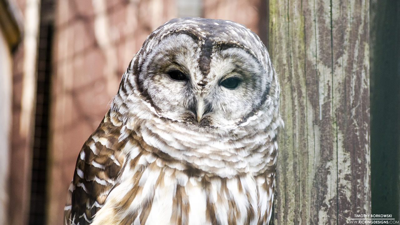 barred-owl-10-02-2015