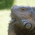 roatan-lizard-11-19-2015