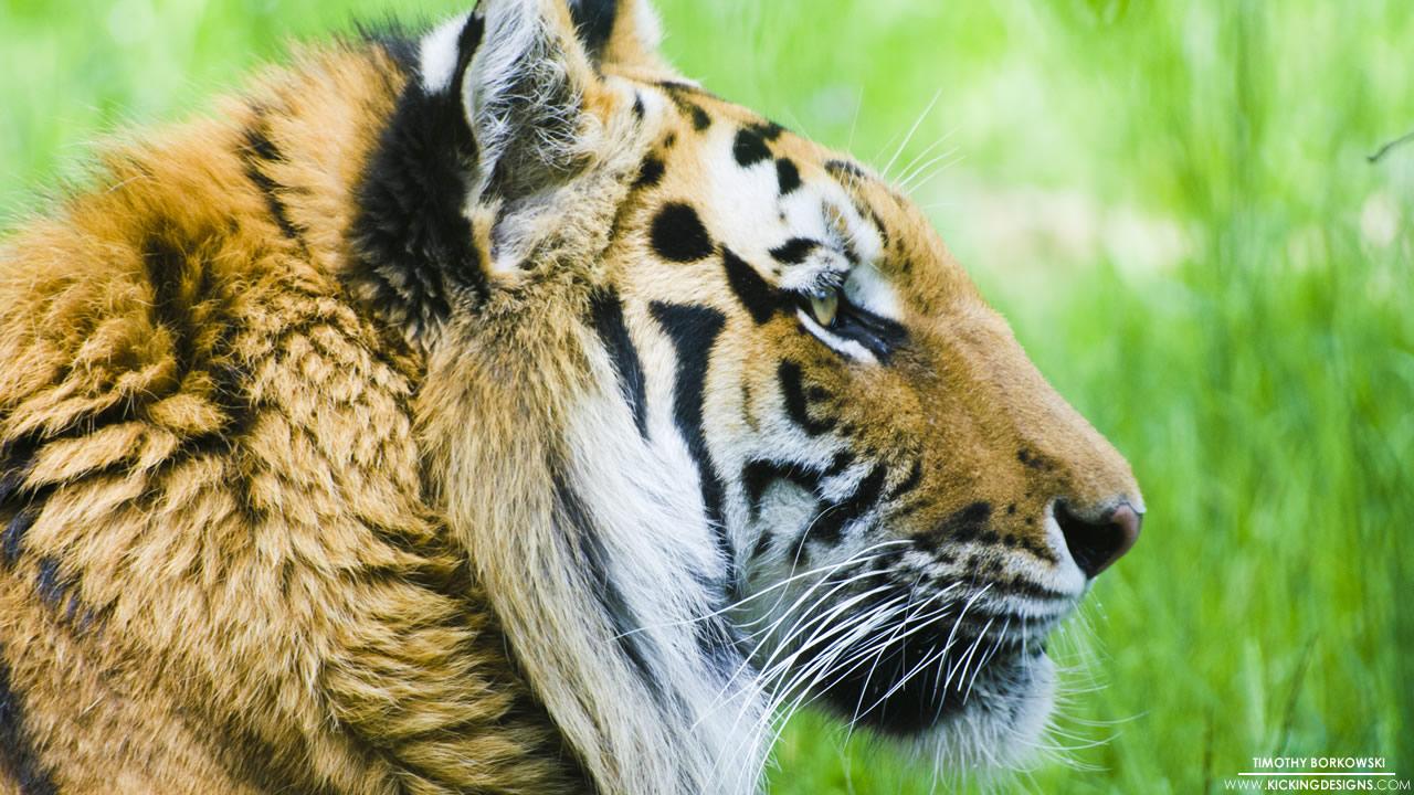 bronx-zoo-tiger-12-21-2015