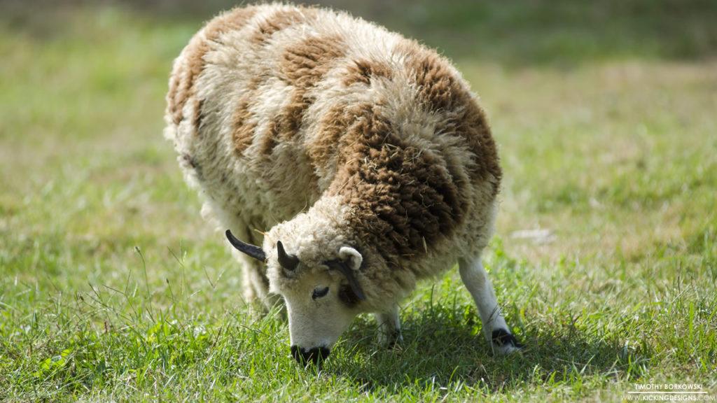 Sheep 6-30-2016