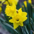 daffodils-4-17-2017_full-hd