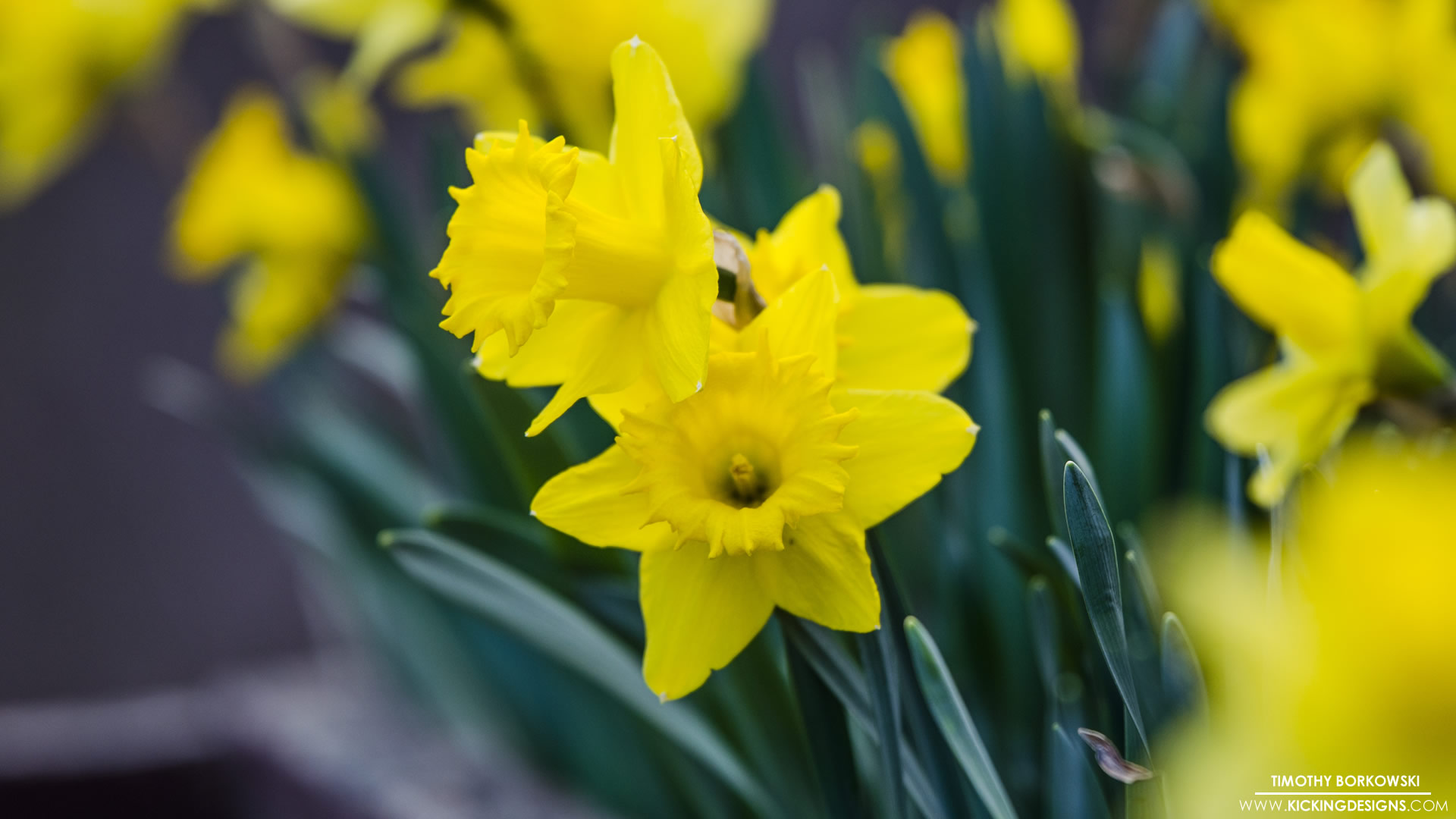daffodils-4-17-2017_full-hd